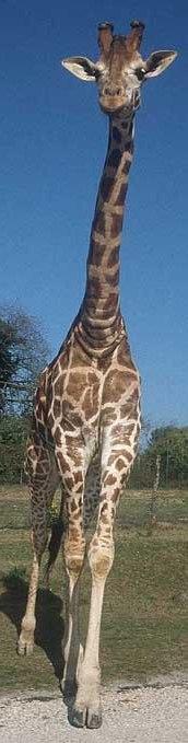 A freakin' giraffe
